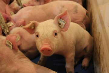 Pigs with ear tags